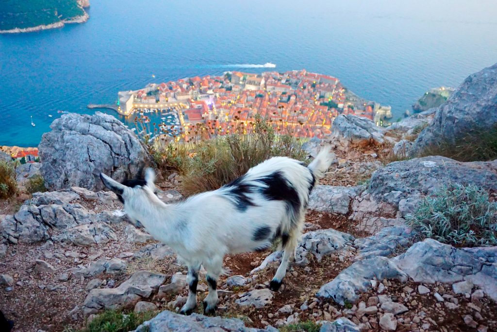 Black and white goat overlooking an aerial view of Dubrovnik's old town and surrounding Adriatic sea. This view is from Mount Srd in Dubrovnik.